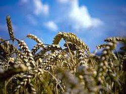 В Украине увеличатся посевы озимых