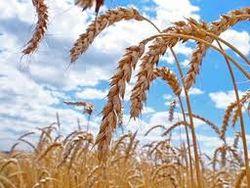 Санкции бессильны: Иран вдоволь закупил зерна