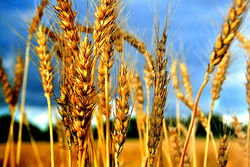 Прогноз на мировые переходящие запасы зерна был повышен МСХ США