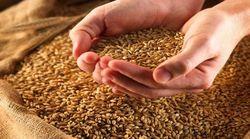 Реальный урожай зерна в РФ значительно превысит цифры в отчётах