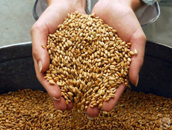 Котировки пшеницы в США и Европе на рождество замерли