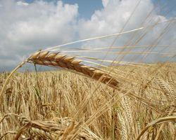В феврале в РФ может начаться снижение стоимости зерна