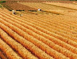 Цены на пшеницу неумолимо растут