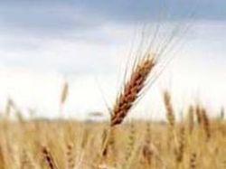 Время трендов: страны активно закупаются пшеницей