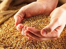 В 2012-2013 МГ импорт российских зерновых увеличится до 1,4