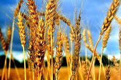Свою потребность в зерновых в 2012 году Китай на 97,7 процентов удовлетворил сам