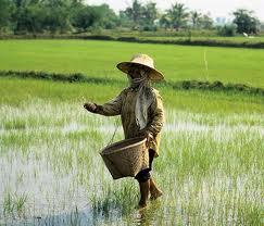 Таиланд потерял звание крупнейшего экспортера риса