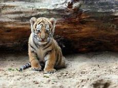 Детеныш исчезающего амурского тигра