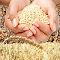 Россия готова ввести временное ограничение экспорта зерна
