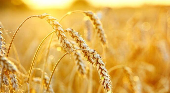 Цена на пшеницу в мире
